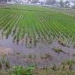 古代米の稲刈りイベン…