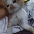 おとめ座生まれの子猫…