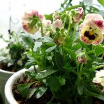 ミルフルとセダムの花