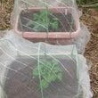落花生を初収穫&鉢上…