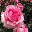 ベランダでバラ栽培始…