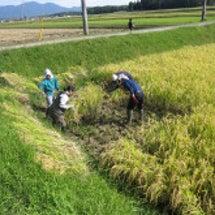 秀明自然農法の稲刈り