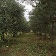 オリーブ大収穫祭