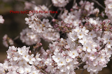 光景 sight0096 桜