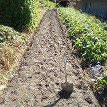 安納芋を掘った跡地に…