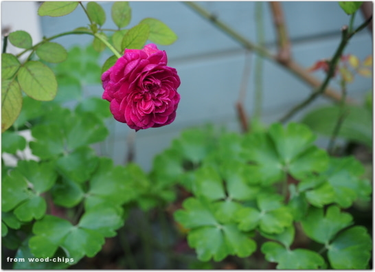 ウイリアムシェークスピア 2000 バラ