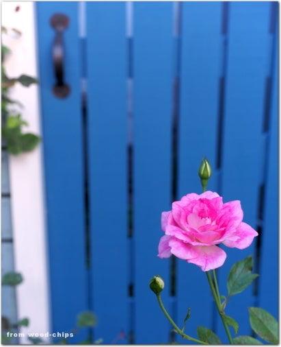ピンクアイスバーグ バラ