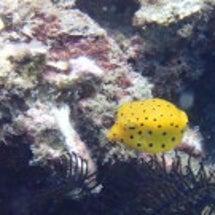 ミナミハコフグの幼魚…