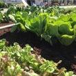 野菜収穫体験を三軒茶…