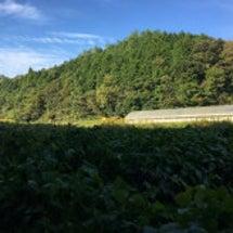 ☆丹波篠山黒枝豆収穫…