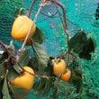 祇園坊柿に袋かけ