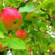 リンゴと身体の仕合わ…