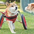 2本脚の犬「すみれ」…