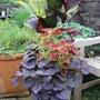カラーリーフで庭が秋…