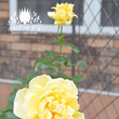 アトリエの庭のレモン…
