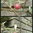 今日の庭*ロシアンオ…