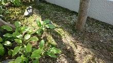 アレチヌスビトハギを除草