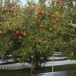 10月12日、りんご…