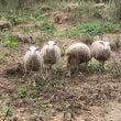 羊ざんまい