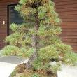 五葉松盆栽、秋の剪定