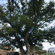 大きな欅の木の下で〜…
