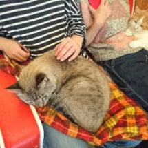 今日の膝乗り猫