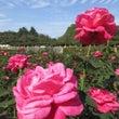 【神代植物公園のバラ…