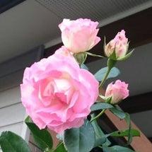 玄関の薔薇