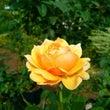 黄色いバラの花ことば