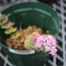 ミセバヤが咲いていま…