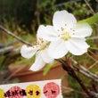 姫林檎の花୨୧⑅*