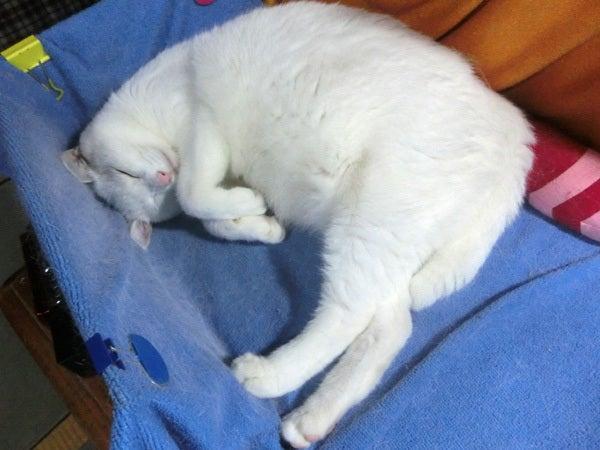 呑気に寝ている白猫ユキ