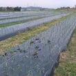 玉ねぎの定植