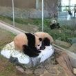 南紀白浜のパンダ  …