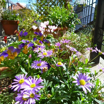 最近の庭の花達の様子…