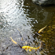 金色の鯉!!発見!
