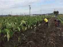 海老芋収穫1