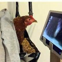 救出された鶏ジオグラ…