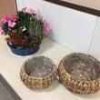 冬の室内花アザレア!