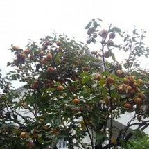 家の柿の木