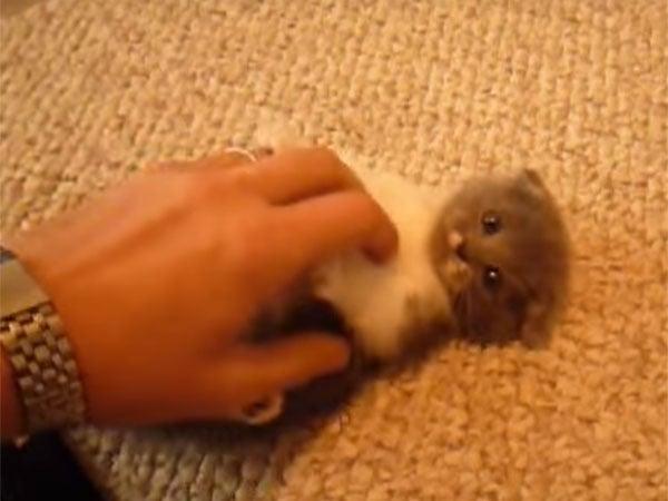 鳴きながら遊ぶスコティッシュフォールドの子猫