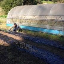 玉ねぎの苗を400本…
