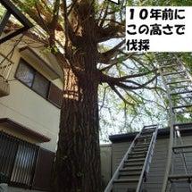 銀杏の木 を貰う