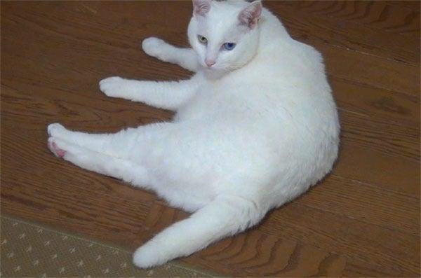哀愁の瞳で見つめる白猫ユキ