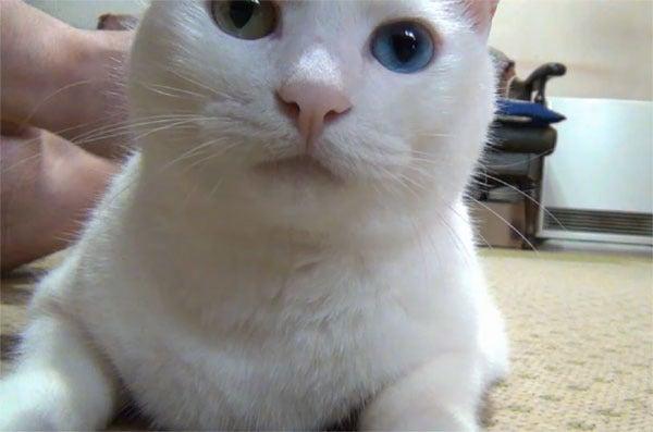 マッサージしてもらってご機嫌な白猫ユキ