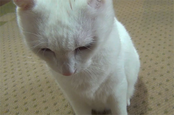 反省してうつむく白猫ユキ