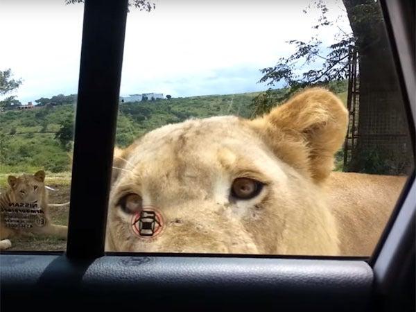 車のドアを開けるライオン