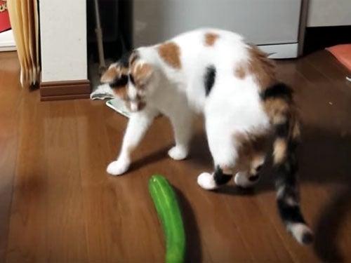三毛猫がキュウリにびっくり