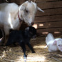 ヤギのハナが出産しま…