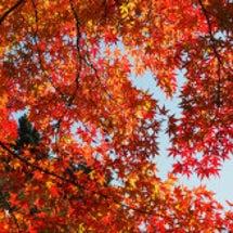百済寺の紅葉(201…